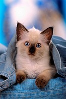 Snowshoe kitten under Jeans
