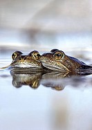 Common frogs Rana temporaria spawning in a moorland pond  The common frog is found throughout Europe  The breeding season begins in March and it hiber...