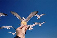 Seagulls Larus sp  in flight  Hand feeding a seagull a snack  Photographed in Pensacola, Florida, USA