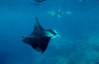 Manta ray and Scin Diver, Manta birostris