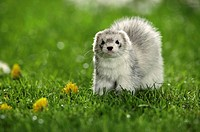 ferret - standing on meadow