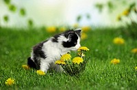 Maine coon kitten - sniffing a flower