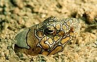 Snake eel,