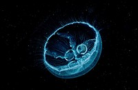 Moon Jelly / Aurelia aurita