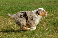 Australian Shepherd - puppy running on meadow