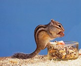 chipmunk - sitting on feeding dish and eat / Eutamias spp