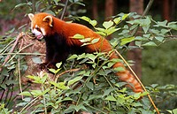 red panda - on tree / ailurus fulgens
