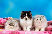 three young Persian cats - on blanket