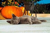 Carthusian cat - lying in front of pumpkin