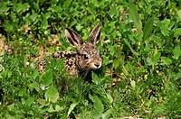 young european hare / Lepus europaeus