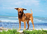 half breed dog - standing at the shore