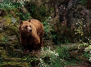 brown / grizzly bear - standing on rock / Ursus arctos