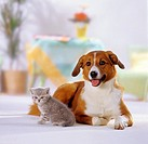 animal friendship : hybrid dog and British Shorthair kitten