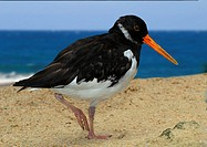 oystercatcher - on the beach / Haematopodini