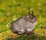 dwarf rabbit - sitting on moss