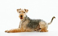 Lakeland Terrier - lying - cut out Restriction: Gesperrt für Tierratgeberbücher, Tiernahrung / animal guidebooks, animal food industry