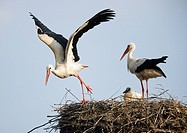 white storks with squab in nest / Ciconia ciconia