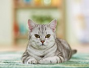 British Shorthair cat - lying