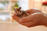 golden hamster on hand / Mesocricetus auratus