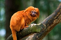 golden lion tamarin - on branch / Leontopithecus rosalia
