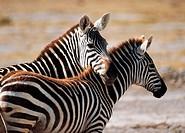 Wildlife, Perissodactyla, Zebras, Africa,