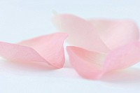 Pink rose petals, close-up