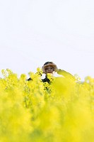 Girl standing in field of canola in bloom, shading eyes, looking at camera
