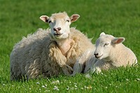 Domestic Sheep (Ovis aries), lamb. Mainland, Orkney Islands, Scotland.