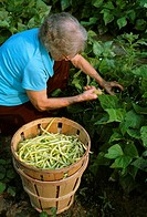 Agriculture - Old lady picking yellow wax stringbeans / Greenwood, Delaware, USA MR