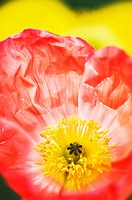 Icelandic Poppy. Papaver nudicaule. March 2007, South Carolina, USA