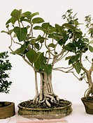 Bonsai plant of Banyan tree. Ficus Benghalensis.Banyan tree. Family: Moraceae. A large tree with thick foliage and aerial roots which enable the tree ...