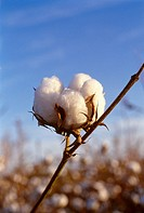 Agriculture - Closeup of a mature five-lock, harvest stage, cotton boll / Tennessee, USA