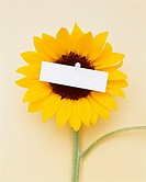 Blank piece of paper pinned to sunflower