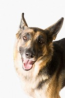 Close-up of a German Shepherd panting