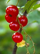 Redcurrants (Ribes rubrum)
