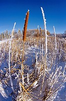 Cattails decorate the International Peace Gardens, Manitoba, Canada