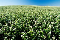 Buckwheat field, Holland, Manitoba, Canada