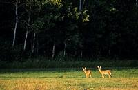 Whitetail deer, sandlands provincial forest, manitoba, Canada