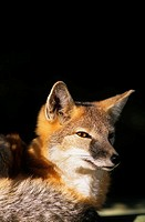 portrait of a Swift Fox Vulpes velox, canada