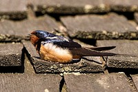 A Barn Swallow Hirundo rustica sits on a wooden shingled roof, Point Pelee National Park, Ontario, Canada
