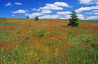 a summer meadow in bloom with hawkweeds, buttercups and vetch, ontario, canada