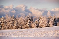 Snow covered spruce trees, Bonshaw, Prince Edward Island, Canada