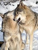 Canis lupis, Young male Grey Wolves playing, Canada