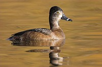Female Ring-necked Duck, British Columbia, Canada