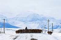 Cattle Bos taurus Drive  Driving herds along roads is a common way to move them from one field to another  Country road, southwest Alberta, Canada