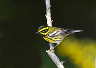 Townsend´s Warbler Dendroica townsendi, Canada