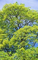 Tree in Spring, Toronto, Ontario, Canada