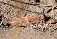Grasshopper, British Columbia, Canada