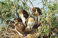 Ferruginous Hawk Buteo regalis Nestlings  A hawk of open dry country of western Untied States and western Canada  Becoming rare these hawks are one of...