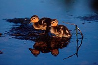Baby ducks ducklings on pond, British Columbia, Canada